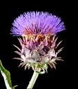 菜蓟, cynara cardunculus,亦称朝鲜蓟蓟, cardone,加州 库存图片