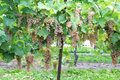 葡萄园在尼亚加拉在这湖,安大略,加拿大 免版税库存照片