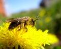 蜂和花粉 免版税库存照片