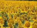 蜂明亮的中心花晚夏星期日向日葵 色 库存照片