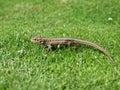 蜥蜴爬行动物 图库摄影