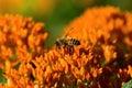 蝶杂草和蜂蜜蜂 库存图片