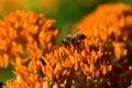 蝶杂草和蜂 免版税库存照片