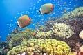 被盯梢的butterflyfishes红色 免版税库存图片