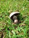 被 倒的蘑菇 库存图片