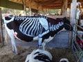被 的母牛 免版税库存图片