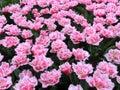 许多郁金香花, 平白色和桃红色 库存图片