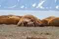谎在岸的海象在斯瓦尔 特群岛,挪威 免版税库存图片