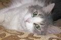 谎的猫 免版税图库摄影