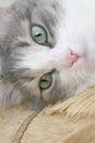谎的猫 免版税库存照片