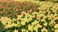 郁金香花, 平,红色和 色 图库摄影