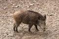 野公猪在  的自然环境里 库存图片