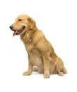 金 华美的猎犬 免版税库存图片