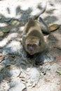 长尾的短尾猿 猕 属fascicularis 免版税库存照片