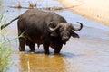 非  牛或cape buffalo syncerus caffer 免版税库存照片
