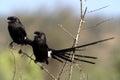 非 长尾的shrike corvinelle melanoleuca 图库摄影