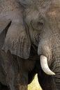 非 africana灌木大象非 象属 免版税库存图片