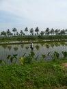 香蕉 上升种植园 库存照片