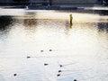 鸭子剪影在湖 库存照片