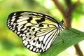 黑色蝴蝶白色 免版税库存图片