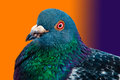 00311 - Pigeon 01 - Gradient color background Royalty Free Stock Photo