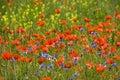 image photo : Poppies 02