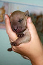 1 day old sharpei sleeping in hands Royalty Free Stock Photography