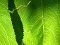 1 gröna leaf för closeup Royaltyfri Bild