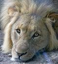 1 lion Στοκ Εικόνες