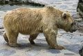 13头熊棕色叙利亚 库存图片