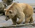 14头熊棕色叙利亚 库存图片
