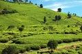 2个种植园茶 库存照片