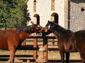 2 horses for Palio (siena) Royalty Free Stock Photo