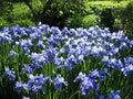 2 irises Fotografering för Bildbyråer