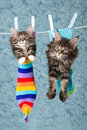 2 Maine Coon kittens in socks on line Stock Images