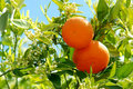 2 ripe oranges at tree Royalty Free Stock Images