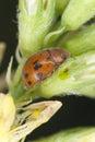 24-spot ladybird Royalty Free Stock Image