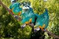 3 blauw-en-gele Ara (ararauna van Aronskelken) Stock Foto