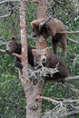 3 Grizzly cubs in Tree #3 Stock Image