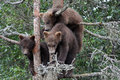 3 Grizzly cubs in Tree #6 Stock Photography