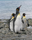 3 King Penguins walking up the beach Stock Images