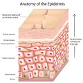 3d anatomy of the epidermis Stock Image