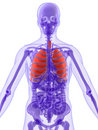 3d anatomy - lung Royalty Free Stock Photography