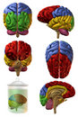 3D Human Brain Royalty Free Stock Images
