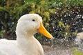 4个鸭子系列 图库摄影
