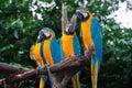 4 loros Azul-y-Amarillos del Macaw Imágenes de archivo libres de regalías