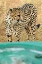 4x4 and cheetah Royalty Free Stock Photo