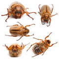 5 summer chafer or European june beetles Stock Images