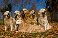 6 Golden Retrievers in field of Fall leaves Royalty Free Stock Images