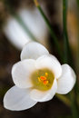 Açafrão branco de florescência (lat. Açafrão) Imagens de Stock Royalty Free